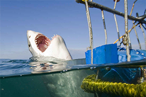 Shark Cage Diving in Gansbaai South Africa