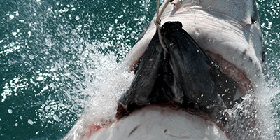 Food of great white shark