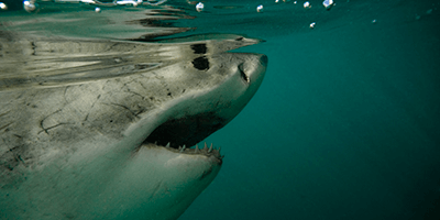 Food of the great white shark