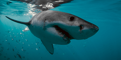 Food sources of the great white shark