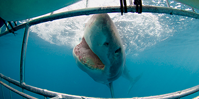 Shark Diving Gansbaai