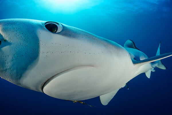 Blue and Mako shark dive Cape Town