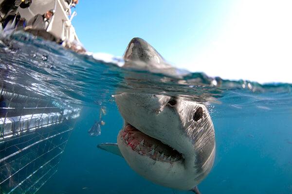 Shark Diving Gansbaai