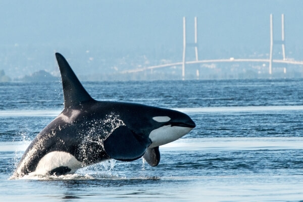 Killer Whale in the wild